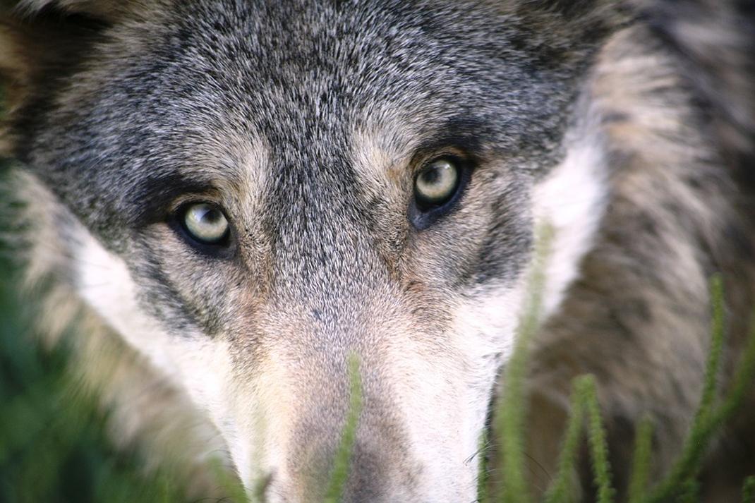 darrer llop