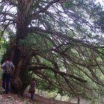 El teix, l'arbre místic
